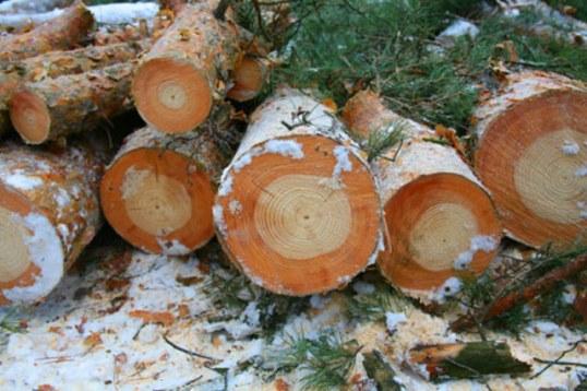 Vue en coupe des arbres de Tchernobyl